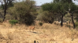 Impala, on high alert due to nearby lions