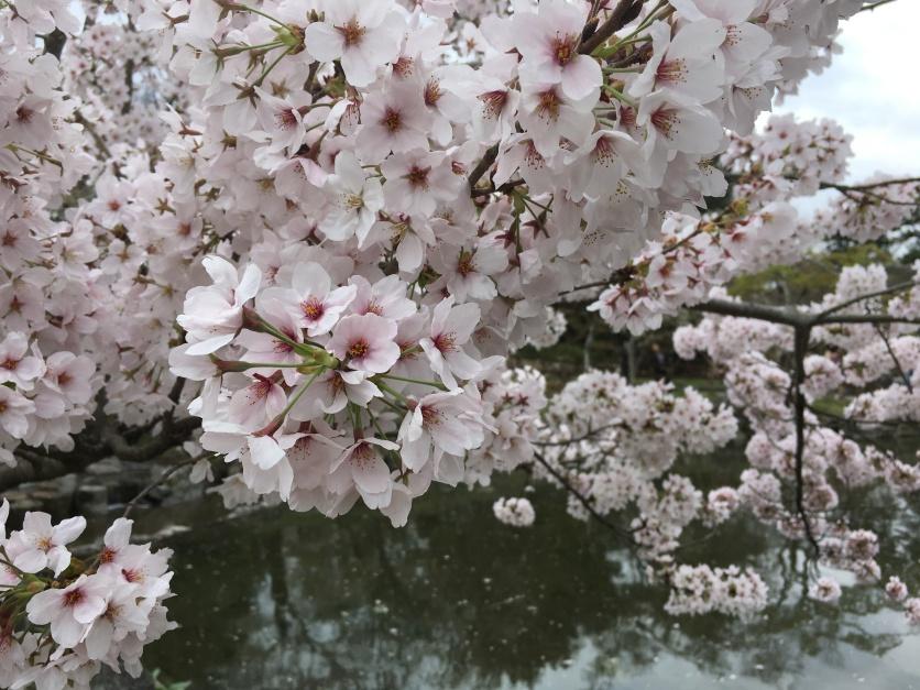 Maruyama Park Sakura