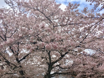 So Many Sakura