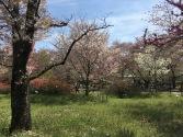 "Falling Petals (aka Sakura ""Snow"")"